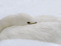 White Swan on the Snow royalty free stock photos
