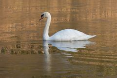 A mute swan on Southampton Common stock photos