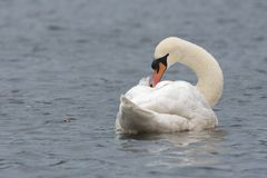A mute swan on Southampton Common stock photography