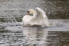 A white swan splashing stock photo