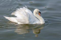 White swan spread feather on River Stock Photos