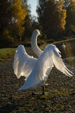 White Swan spread out his beautiful wings in the evening Royalty Free Stock Image