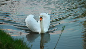White swan with spread wings. Пraceful white swan floating on water with spread wings stock images