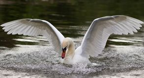White swan spreading his wings