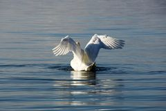White swan spreading its wings royalty free stock photography