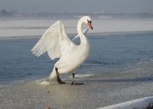 Free White Swan Spreading The Wings, On Ice In Winter Stock Photo - 108322110