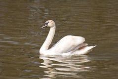 White swan spreading wings Stock Photo