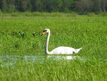 White swan. In spring flood field, Lithuania Royalty Free Stock Photography
