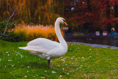 White Swan. Standing on grass in park Royalty Free Stock Image