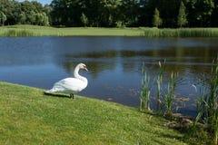White swan standing on lake shore among green foliage. Stock Photos