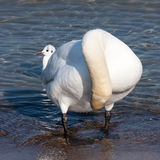 White swan standing near shore. White swan clearing feathers in humorous stance Royalty Free Stock Images