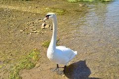 White swan standing on a shore