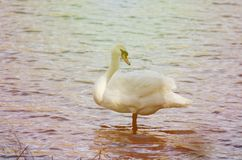 White swan stands in the water. Toning Royalty Free Stock Photography