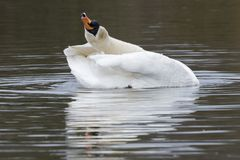 A mute swan stretching on the Cemetery Lake, Southampton Common. A white swan stretching on the Cemetery Lake Southampton Common, Hampshire, UK stock image