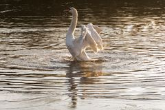 A white swan stretching in the early morning light Southampton stock image