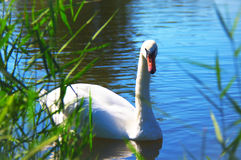 White Swan. In the summer on the lake Stock Image