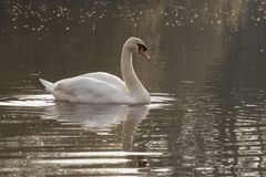White swan on a sunny morning royalty free stock photos