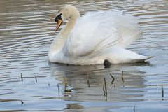 White swan on a sunny morning royalty free stock images