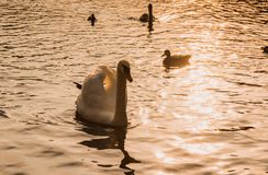 White swan sunset water Stock Image