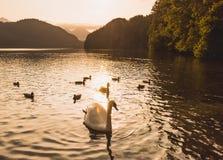 White swan sunset water Royalty Free Stock Photos