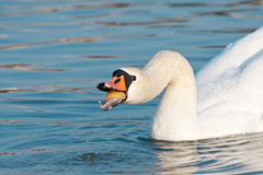 White swan swallowing food Royalty Free Stock Image