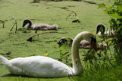 White Swan and Swan Chicks in Lake Stock Photo