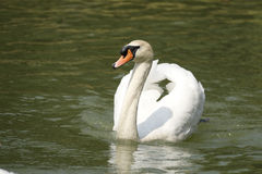 White Swan. Swans are birds of the family Anatidae within the genus Cygnus. The swans' close relatives include the geese and ducks Royalty Free Stock Images