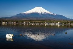 Swan at Yamanaka lake near mount Fujisan. White swan swim and look for fish to eat at Yamanaka lake with mount Fuji view in morning with clear blue sky Royalty Free Stock Image