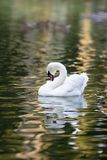 White swan swiming. On city lake Stock Photos