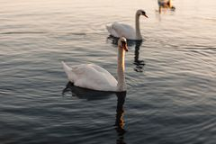 White Swan Swimming Stock Photography
