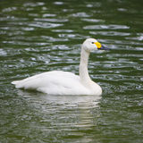 White swan swimming Stock Image