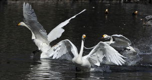 White Swan swimming Royalty Free Stock Photos