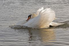 A white swan swimming angrily through the water. On the River Itchen, Southampton royalty free stock photo