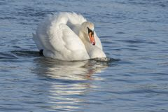 A white swan swimming angrily through the water. On the River Itchen, Southampton stock photography