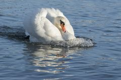 A white swan swimming angrily through the water. On the River Itchen, Southampton royalty free stock images