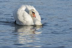 A white swan swimming angrily through the water. On the River Itchen, Southampton royalty free stock photos