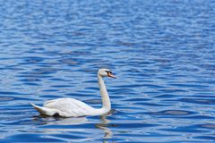 White swan is swimming in the blue water. Beautiful scene of white swan is swimming in the blue water of Alster lake in Hamburg, Germany stock photo