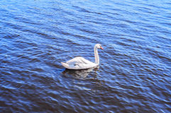 White swan. Swimming on blue water Royalty Free Stock Image