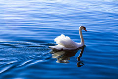 White swan swimming on blue water Royalty Free Stock Photography
