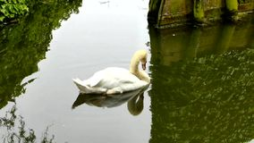 White Swan. Swimming in the channel stock footage