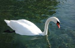 White Swan Swimming in Clear Water stock image