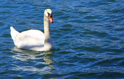 White Swan swimming in the clear water of the pond Stock Image