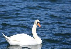 White Swan swimming in the clear water of the pond Royalty Free Stock Photo