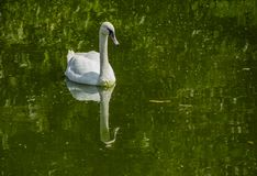 A Swan Swimming in Green Water stock photo