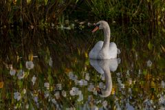 White swan swimming in flower reflection waters Stock Photo