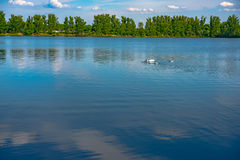 White swan swimming gently in still lake water Royalty Free Stock Photos