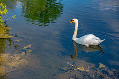White swan swimming gently in still lake water Royalty Free Stock Image
