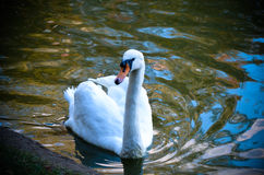 White swan swimming gently in still lake water. Ingreen light Royalty Free Stock Photo