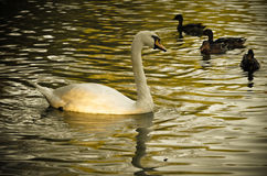 White swan swimming gently in still lake water. Ingreen light Stock Image