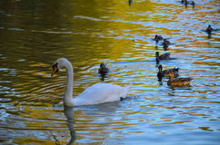White swan swimming gently in still lake water. Ingreen light Royalty Free Stock Images